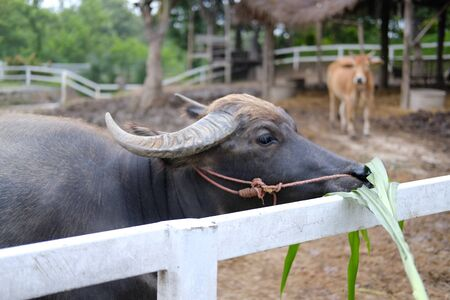water buffalo eating grass in farm in Thailand