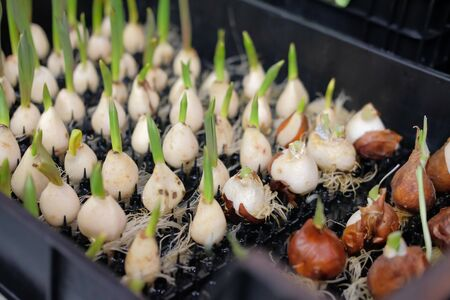 planting red spark double late tulip flower bulb seedling.