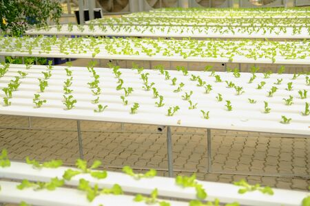 lettuce salad vegetable growing in hydroponic farm Reklamní fotografie