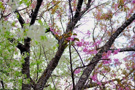 wild himalayan sakura cherry blossom flower. blooming pink white flora tree in park. Prunus Cerasoides