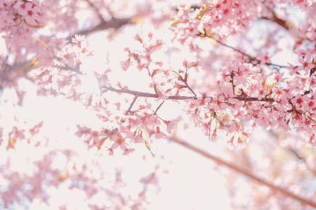wild himalayan sakura cherry blossom flower. blooming pink flora tree in park. Prunus Cerasoides Reklamní fotografie