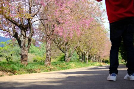 tourist & wild himalayan sakura cherry blossom flower. blooming pink flora tree in park. Prunus Cerasoides Reklamní fotografie