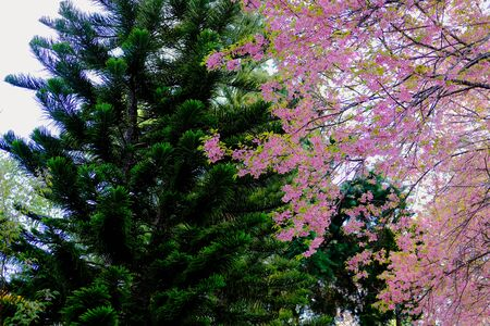 pine tree & wild himalayan sakura cherry blossom flower. blooming pink flora tree in park. Prunus Cerasoides