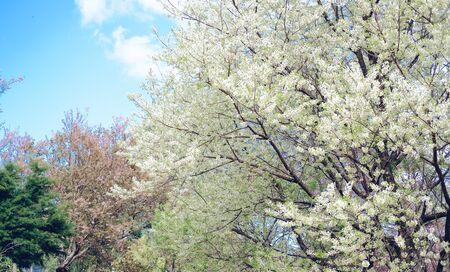 wild himalayan sakura cherry blossom flower. blooming white flora tree in park. Prunus Cerasoides