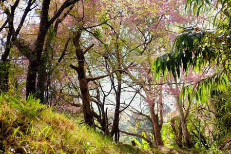 forest with wild himalayan sakura cherry blossom flower. blooming pink flora tree Reklamní fotografie