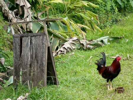 imperious: Single Rooster and Shelter Stock Photo