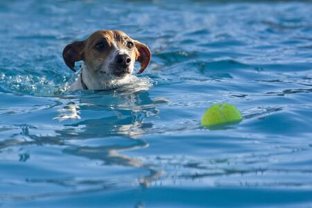 A jack russell terrier swimming after a tennis ball in the pool