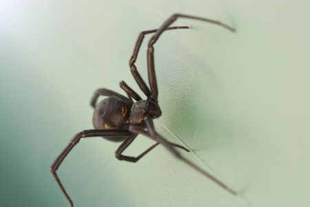 A close shot of a scary black widow spider