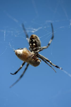 yuck: A spider eating a honey bee that it captured in a web