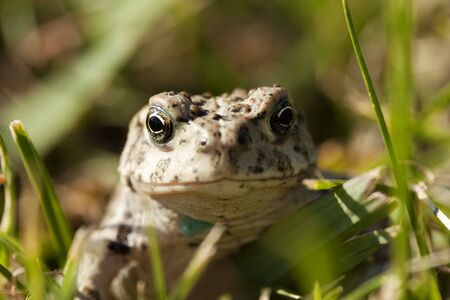 A Toad in the grass, looking at the camera