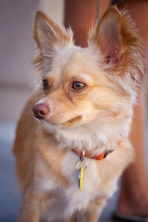 Portrait shot of a very cute pet chihuahua