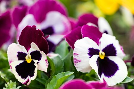 close up of dark pink and white pansies Stock Photo