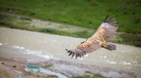 wingspan: Mountain hawk pan wing on blurred river background