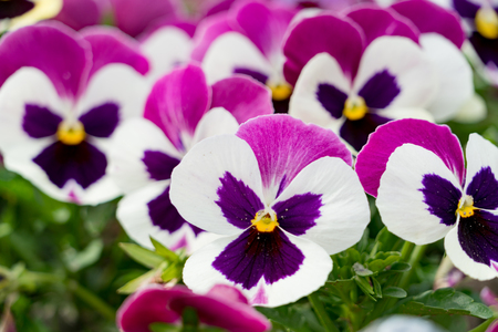 A background of dark pink and white pansies flower stock photo a background of dark pink and white pansies flower stock photo 79142831 mightylinksfo