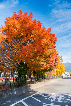 Colorful maple leaves  alongside a road with blue sky background, Japan autumn season. Taken at Matsumoto, Nagano Prefecture, Japan