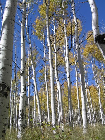 Towering aspen trees in yellow autumn foliage with a blue sky background make one feel very, very short. photo