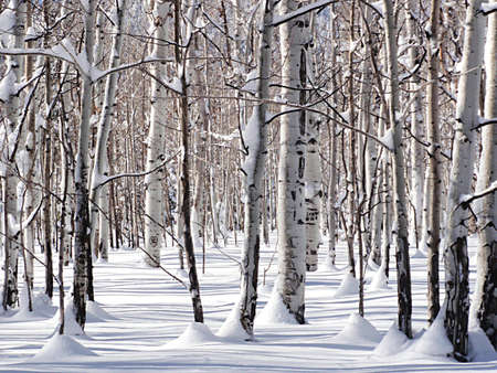 partly: Standing amongst snow coated Quaking Aspen trees casting slight shadows on partly sunny winter day following an overnight storm.