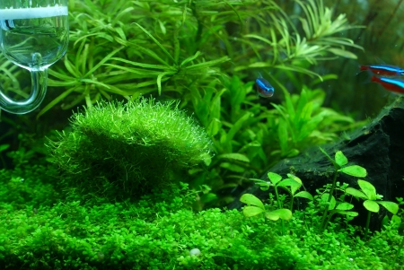tetra fish: This my aquarium plant  Riccia is a main plant in photo , forground plant is Glossostigma and background plant is ludwigia and rotala