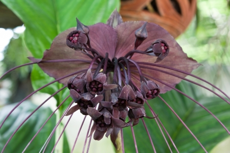 The genus Tacca, which includes the Bat flowers and Arrowroot, consists of ten species of flowering plants in the order Dioscoreales, native to tropical regions of Africa, Australia, and south-eastern Asia  Imagens