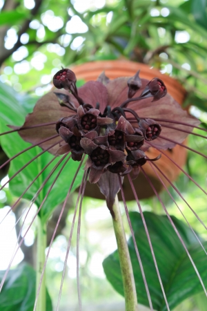 bracts large: The genus Tacca, which includes the Bat flowers and Arrowroot, consists of ten species of flowering plants in the order Dioscoreales, native to tropical regions of Africa, Australia, and south-eastern Asia  Stock Photo