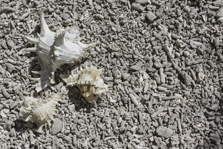 bleached: Shell on a bleached coral on the beach