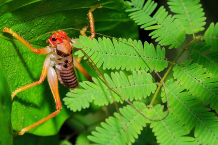 wingless: closeup of Leaf Rolling Grasshoppers ( wingless cricket )
