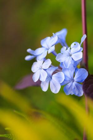 auriculata: Cape leadwort flower, White plumbago, (Plumbago auriculata Lam.) Stock Photo