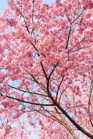 wang: Wild Himalayan Cherry flower in Khun Wang, Doi Inthanon, Chiangmai, Thailand