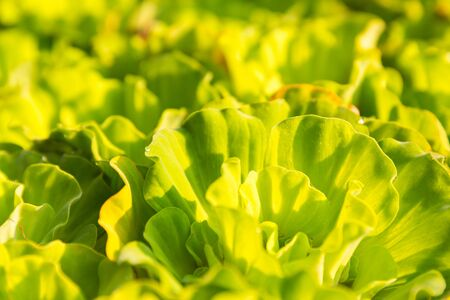 floating on water: Floating water lettuce, Pistia stratiotes