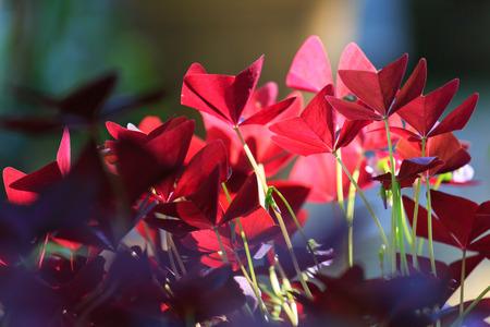 oxalis: Flower Oxalis triangularis Purple shamrock Indian park