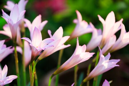 spp: Rain Lily flowers Fairy Lily zephyranthes spp blooming in garden