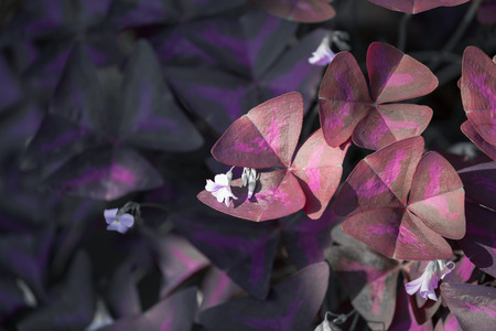 Flower Oxalis triangularis Purple shamrock Indian park photo