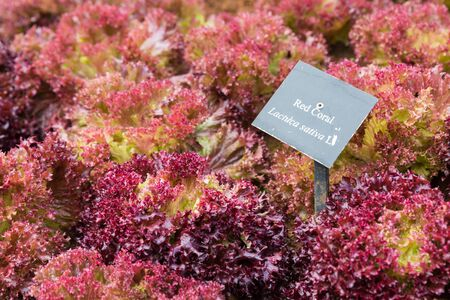 lactuca: Lettuce, Red coral, Lactuca sativa vegetable with sign in garden Stock Photo