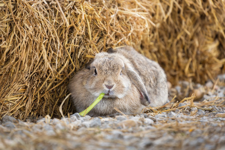 lop: Cute Holland Lop or French Lop rabbit eating vegetable in farm