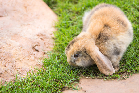 lop: Cute Holland Lop or French Lop rabbit in garden