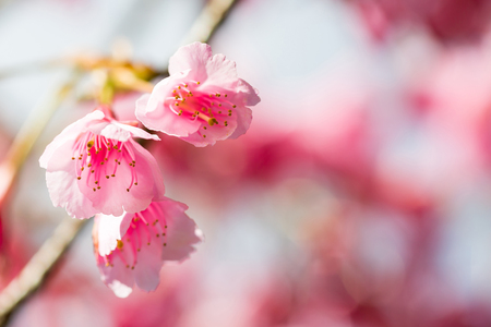 fleur de cerisier: Fleurs sauvages de l'Himalaya Cherry à Khun Wang, Doi Inthanon, Chiangmai, en Thaïlande
