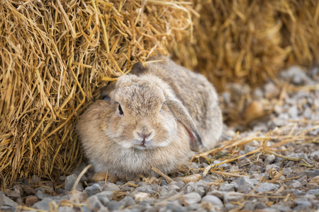 lop: Cute Holland Lop or French Lop rabbit in farm