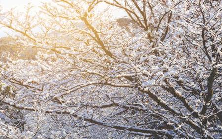 shirakawa go: Winter tree branch background with snow in sunrise, Shirakawago, Takayama, Japan Stock Photo