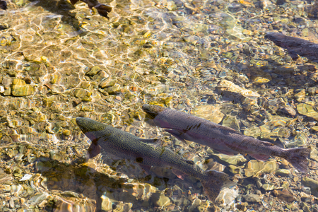 Salmon swimming in river background Stock Photo