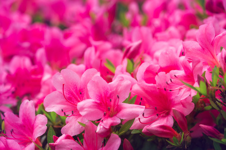 Pink azalea flowers in kobe japan stock photo picture and royalty pink azalea flowers in kobe japan stock photo 78252654 mightylinksfo