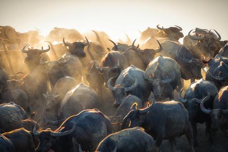 Group of Thai buffalo running downhill in evening, Nakhon Si Thammarat, Thailand