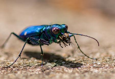 iridescent: Iridescent blue tiger beetle Stock Photo