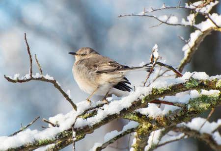 ruiseñor: Mockingbird en una rama de nieve por la mañana temprano