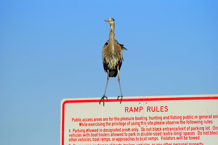 Great blue heron perched on sign dictating the rules