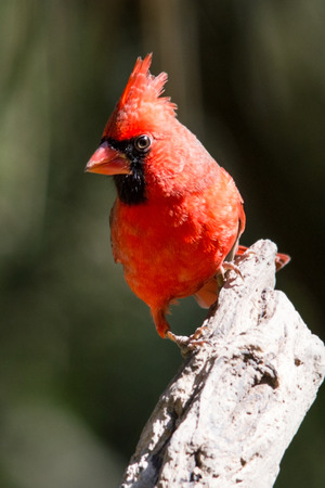 Northern cardinal perched on the end of a diagonal branch