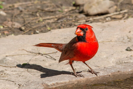 Northern cardinal taking a drink at the waters edge
