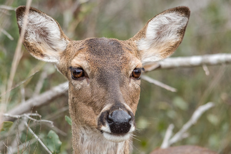brush tailed: Female deer posing for a portrait in front of brush Stock Photo