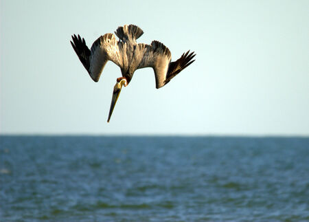 Brown pelican in mid dive above the ocean