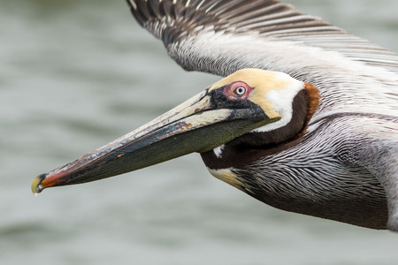 Brown pelican in flight at eye level