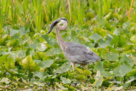 swallowing: Great blue heron swallowing a long fish in a marsh